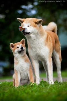 Akita 'm going to have an explosion of overload cuteness!!!. #dog #puppy #akita_inu Read More -->