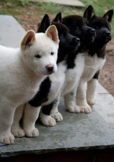 Akita's are beautiful and they truly howl like a wolf. My neighbors have two of them. They are happy and just love and protect