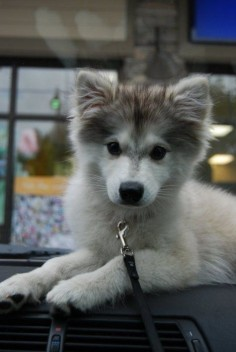 Alaskan Klee Kai or mini husky. So pretty!!