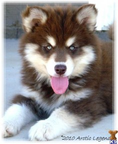 Alaskan Malamute Puppy, I want one of these!