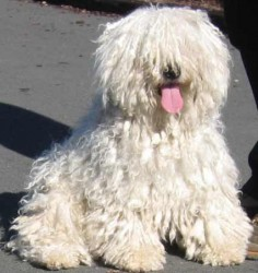 All About the Hungarian Puli - The Mop Dog--this dog is a hoot! @TennantTARDIS