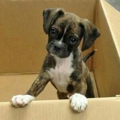 All puppies are cute but boxer's have some features isn't  #collarbuddies #collarbuddies #boxer #boxers #boxerdog #boxerdogs #boxerpuppies #boxerclub #iloveboxer #boxerbaby #boxersofinstagram #boxeraddict #boxerlove #boxerfriend #boxerworld #boxernation #boxergram #twitter #newton