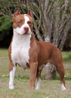 Although pit bulls were all created with similar crossbreeding between bulldogs and terriers, each individual breed within the type has a distinct history. The US Humane Society estimates that there are over  million owned dogs in the United States; however, the number of pit bull-type dogs has not been reliably determined.