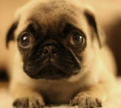and people think pugs are ugly?!