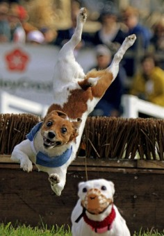 And they catch some SERIOUS air. 19 Jack Russell Terriers Totally Defying The Laws Of Physics