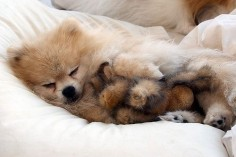 And this little puppy dreamt that he flew! | 20 Puppies Cuddling With Their Stuffed Animals During Nap Time