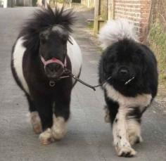 And this pup who is just taking his pony pal for a walk.