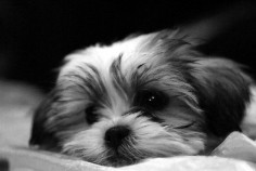another shih tzu maltese puppy