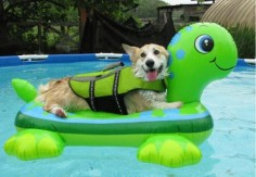 Another thing that makes Corgis happy, turtles