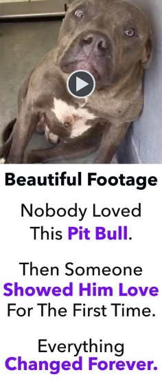 As dog lovers, it's very difficult for us to understand why someone would ever subject one of our beloved friends to the torture of dog fighting. That's exactly what happened to this beautiful pit bull. Thankfully, a handful of good people were able to rescue this dog from the clutches of his tortured life.