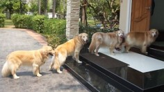 As each dog is allowed inside after being thoroughly wiped, the others wait quietly for their turn  (Click to view video)