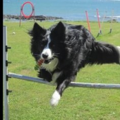 Asha  Border Collie with Many Skills!