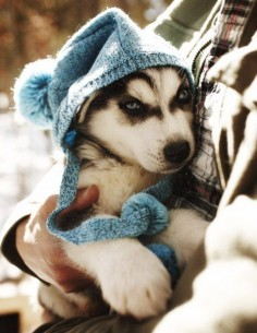 husky puppy. Aww, My sister and I use to have a dog just like this and she was so beautiful. I miss her!!