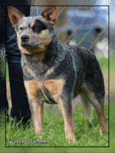 Australian Cattle Dog (ACD)