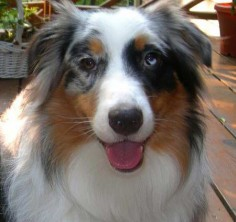 Australian Shepherd Dog Photo | Australian Shepherd Dog Image | Canadian Pet Care Wallpapers Images ...