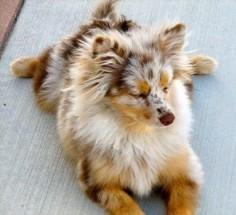 Australian Shepherd Pomeranian Mix