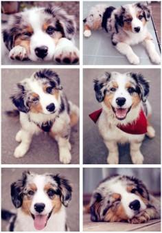 Australian Shepherd Pup | 23 Adorable Babies That Will Melt Even The Stoniest Heart