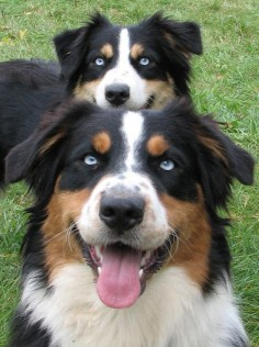Australian Shepherds Black Tri BETS