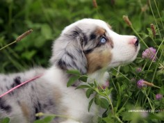 AUSTRALIAN SHEPHERDS = LOVE