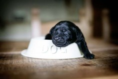 little black lab puppy ever ♥ | Pet Photography | Dog | Puppies | | Labrador Retriever |