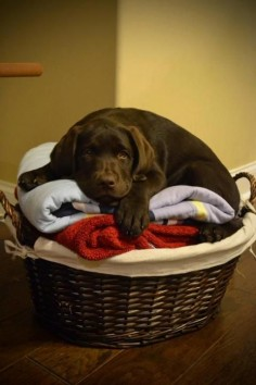 #Labrador #puppy