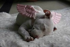 Awww, little #pit #bull angel ♥