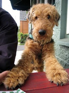 Awww - look at that face, how can you Not Love an Airedale Terrier absolutely adorable