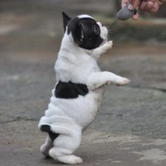 Baby French Bulldog Puppy. Limited Edition French Bulldog Tee