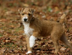 Banded Mountain Terrier - 4 months so cute!