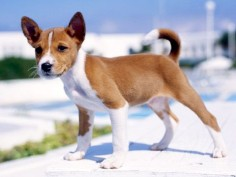 basenji puppie how could not want one, he's so cute!