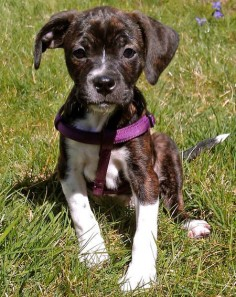 Beagle / Boston Terrier Mix