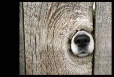 Beagle nose