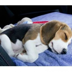 Beagle puppy snooze time