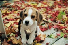 Beagles love the fall  chewing on leaves!