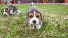 beagles pocket size