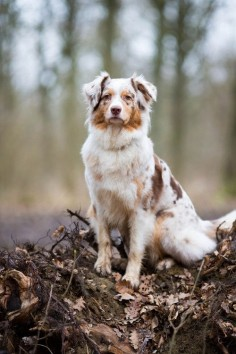 Beautiful Australian Shepherd