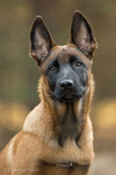 Beautiful Belgian Malinois - Portait Quamur | Flickr - Photo Sharing!