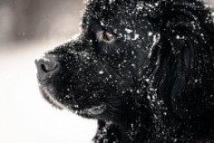 Beautiful big newfondlander dog in snow.