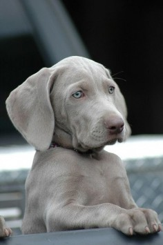 Beautiful gray blue lab puppy!