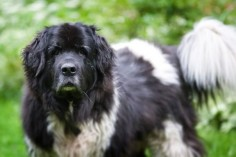 Beautiful Landseer Newfoundland Puppy Dogs Hound Pups Hunting Puppies