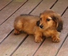 Beautiful long haired Dachshund puppy. little dachshund babies!!!
