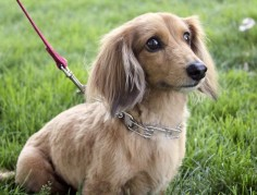 Beautiful! Long-haired Mini Dachshund