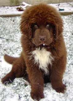 Beautiful Newfoundland Dog