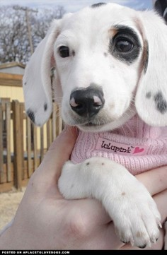 Beautiful Piebald Dachshund, Annabelle. The Piebald Dachshund has a white coat with variations of grey, brown or black shading throughout, which is often confused with the dapple Dachshund