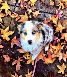Beautiful Puppy / australian shepherd