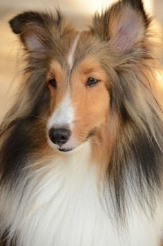 beautiful sheltie
