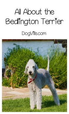 Bedlington Terrier – Everything You'll Ever Need to Know