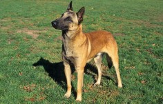 Belgian Malinois Breed  all who need answers why my dog is the way he