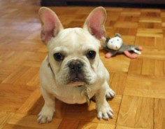 Benjamin the French Bulldog