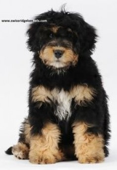 bernedoodle, so this is love